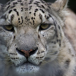 Snow leopard at Welsh Mountain Zoo